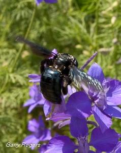 Carpenter Bee on Larkspur