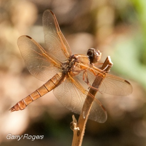 Lt Brown Dragonfly
