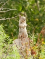 Rock Squirrel on a Fence Post