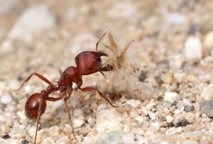 red harvester ant worker