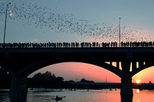 Bats in Austin TX