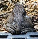 Colorado River Toad at Coldwater Farm