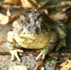 One-eyed Rocky Mountain Toad named Jill before her first roly polie feast.