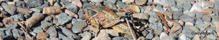 Arizona Grasshopper