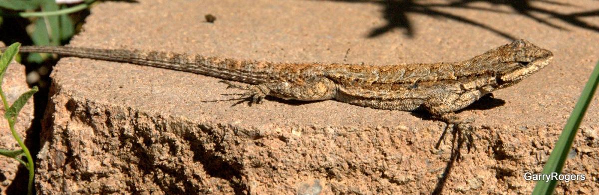 U S Lizard Arizona Lizard Update�...