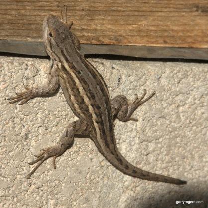 Plateau Fence Lizard