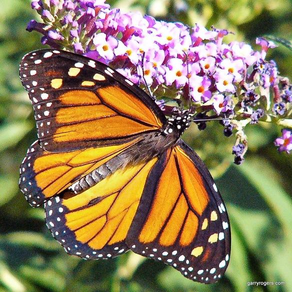 Monarch (Danaus Plexippus)