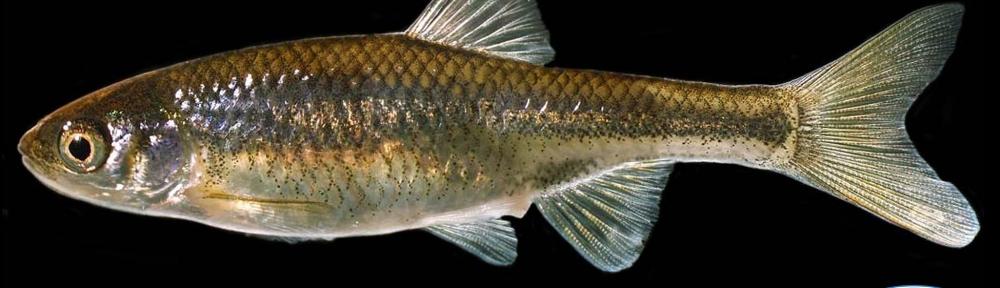 Beautiful Shinner--AZ Endangered Fish