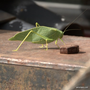 Greater Anglewing Katydid