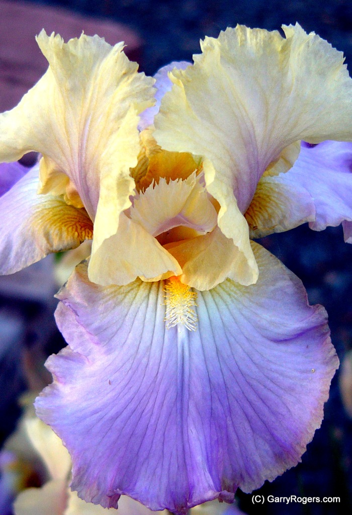 Garry Rogers' Iris at Coldwater Farm