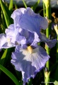 Three irises at Coldwater Farm