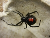 Adult_Female_Black_Widow