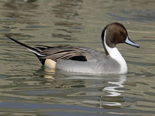 Northern Pintail (Wikimedia Commons)