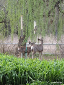 Mule Deer Mother and Daughter at Coldwater Farm (Garry Rogers April, 2014)
