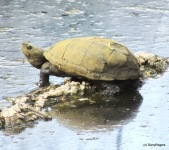 Sonora Mud Turtle