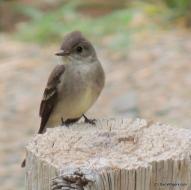 Western Wood Flycatcher