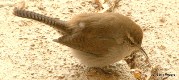 This Bewick's Wren cleaned bugs from six feet of concrete expansion joint one afternoon. Helpful little fellows.