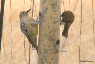 Gila Woodpecker (at left)