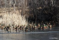 Mallards (mostly) on Ice