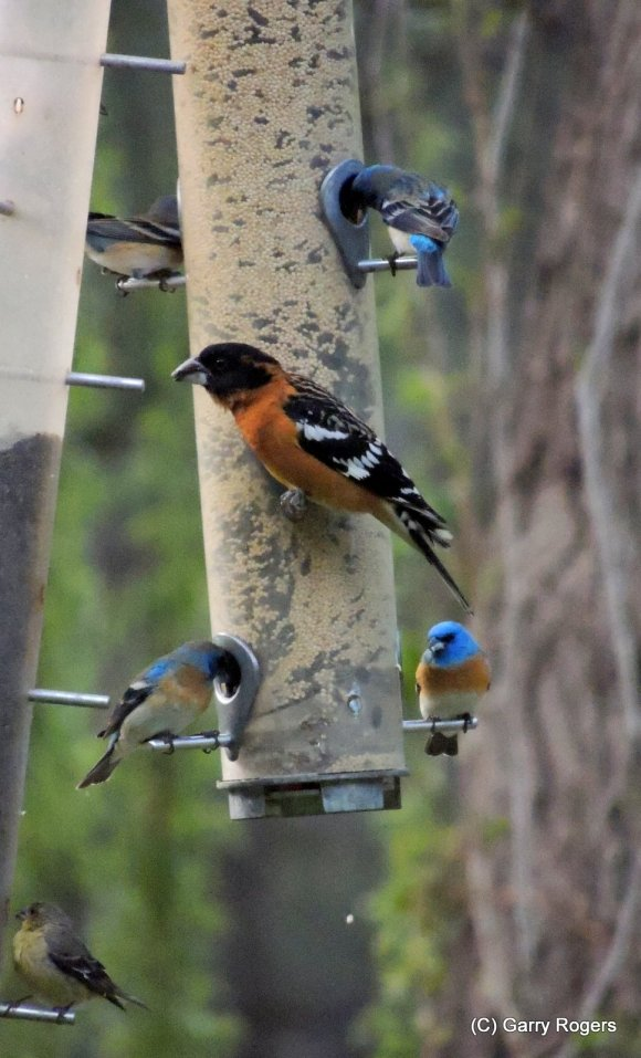 Lazuli Buntings & Black-headed Grosbeak