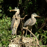 Two fledgling Great Blue Herons near the Agua Fria River in Dewey-Humboldt, AZ