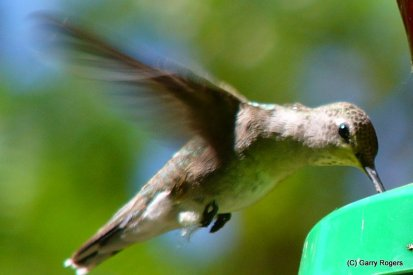 At risk brids at Coldwater Farm Hummingbird
