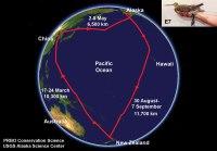 Godwit Migration