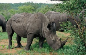 rhinos-eating-grass