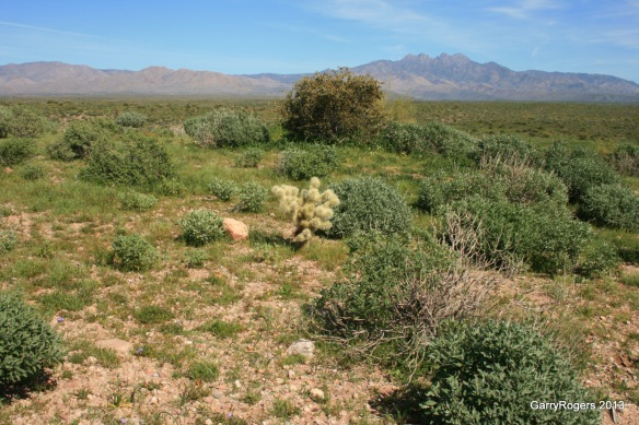 Fire-prone invasive plants fueled fires that converted this formerly diverse Sonoran Desert landscape of small trees and tall Saguaro cactus into an impoverished shrubland.
