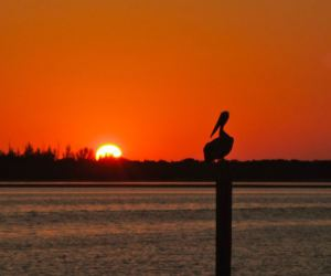 A pelican perch along the coast in Englewood, Florida.