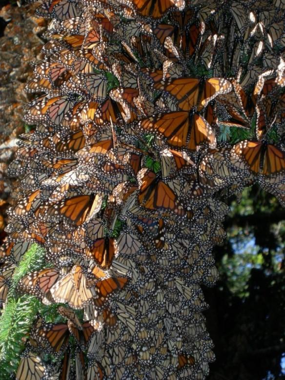 monarch cluster by Jaap de Roodee