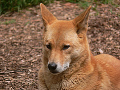 Dingo for noncommercial usse