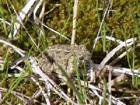 A Wyoming toad. Photo via USFWS.