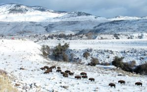 bison--yellowstone