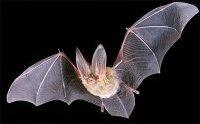 long-eared-bat-flying