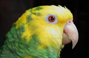 Parrot-Yellow-Headed-Amazon