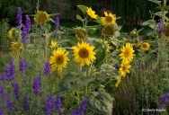 Sunflowers and Larkspur at Coldwater Farm.