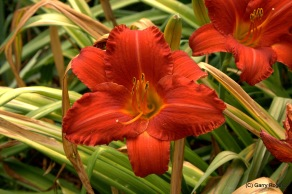 Day Lilly at Coldwater Farm
