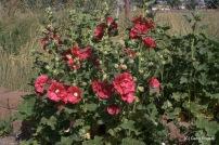 16-20080626-0806_Flowers and pollinators_023