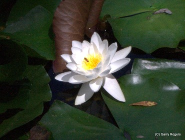 Fragrant Water Lily at Coldwater Farm.