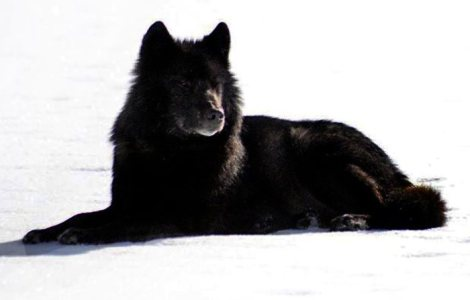 romeo-the-black-wolf-of-alaska Nick Jans