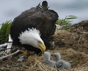 Bald-Eagle-And-Babies