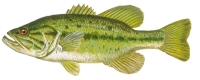 Bass - Largemouth