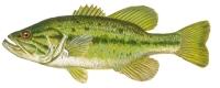 Bass - Largemouth