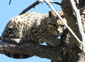 The Arizona Game and Fish Department provided this photo of an endangered ocelot spotted Feb. 8, 2011, in the Huachuca Mountains of southeastern Arizona.