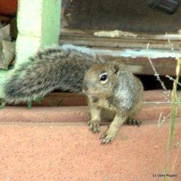 Young Rock Squirrel