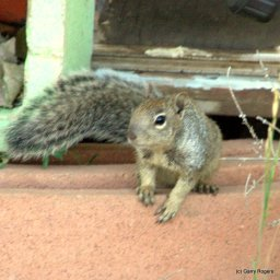 Young Rock Squirrel