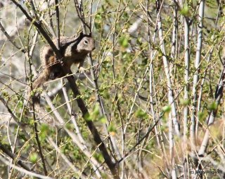 Rock squirrel high in a tree eating willow buds