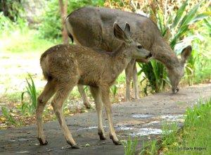 2015 Mule Deer fawn