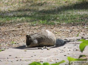Rock Squirrel pocketing bird seed.